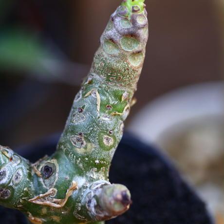 Tylecodon dinteri /チレコドン ディンテリー    no.91215