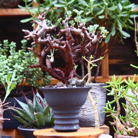 ペラルゴニム  ミラビレ/Pelargonium mirabile   no.91234