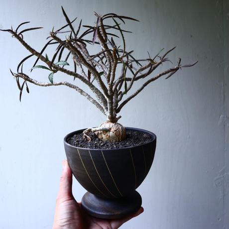 ユーフォルビア   ワリンギアエ    Euphorbia waringiae    no.71432