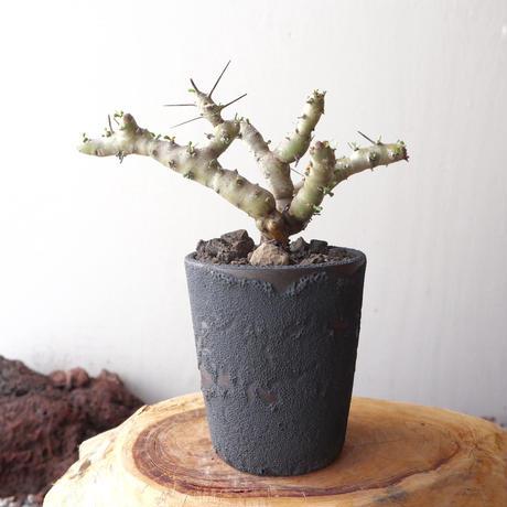 サルコカウロン パターソニー no.003   Sarcocaulon patersonii