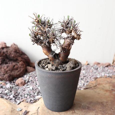 オトンナ   ユーフォルビオイデス  no.006  Othonna   euphorbioides