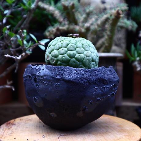 ラリレアキア カクティフォルメ  仏頭玉/Larryleachia cactiformis no.60631