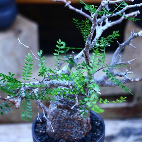 オペルクリカリア  パキプス/Operculicarya  pachypus     no.82906