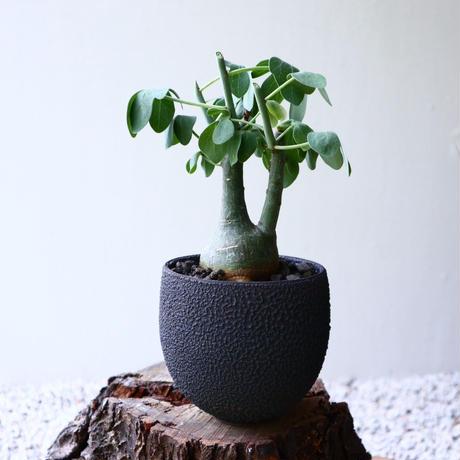 アデニア   グラウカ    Adenia glauca   no.72911