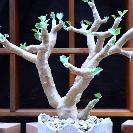 オトンナ   シクロフィラ/Othonna cyclophylla     no.60646