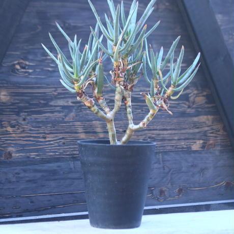 アロエ   ラモシシマ    Aloe ramosissima      no.21401-1