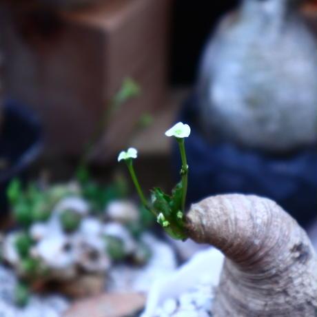 ユーフォルビア  旧フィッシュボーン/Euphorbia spannringii    no.71825