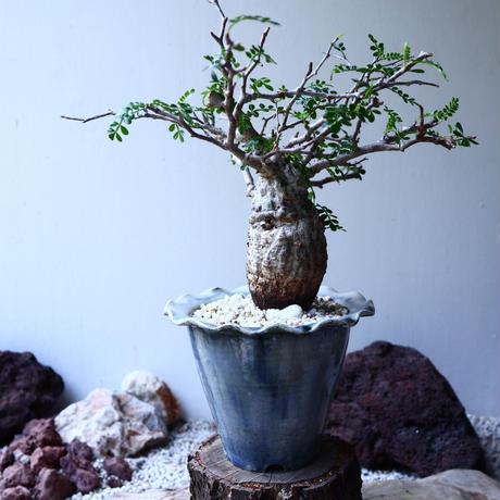 オペルクリカリア  パキプス   Operculicarya  pachypus   no.62302