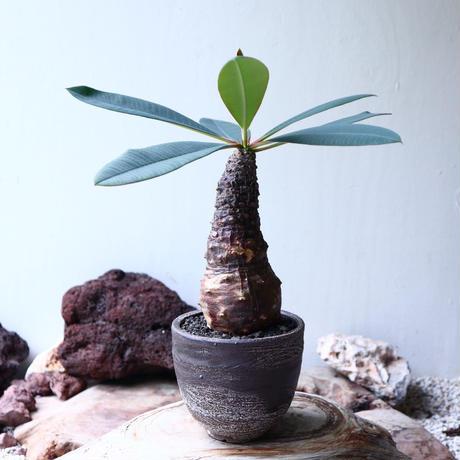 ユーフォルビア  パキポディオイデス  Euphorbia pachypodioides no.72113