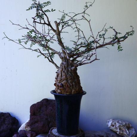 オペルクリカリア  パキプス   Operculicarya  pachypus   no.72819