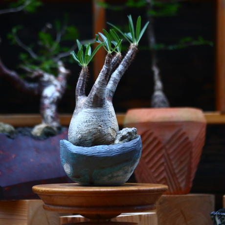 パキポディウム  グラキリス /Pachypodium  gracilius     no.101034