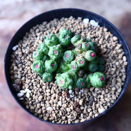 マミラリア ボカサナフレッド  Mammillaria bocasana cv. Fred  no.1116-1