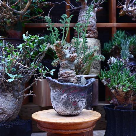 ペラルゴニウム カルノーサム/Pelargonium carnosum  no.60624