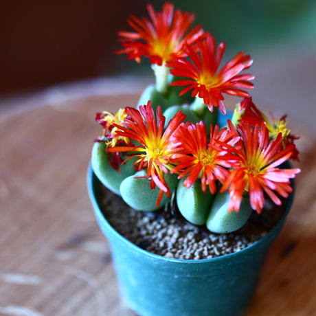 コノフィツム 花園   (オレンジ花)   Conophytum 'Hamazono' no.111560