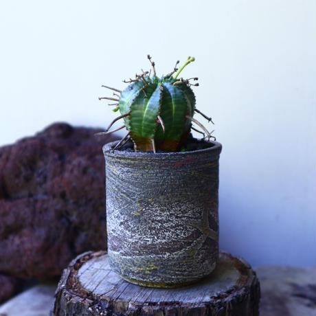 ユーフォルビア  バリダ  hyb   Euphorbia valida  hyb   no.72801