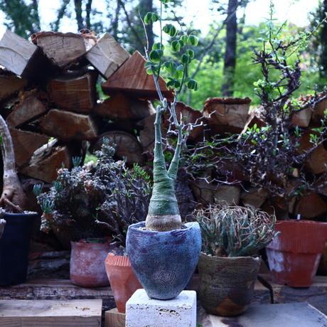 アデニア  グラウカ   Adenia glauca    no.42508