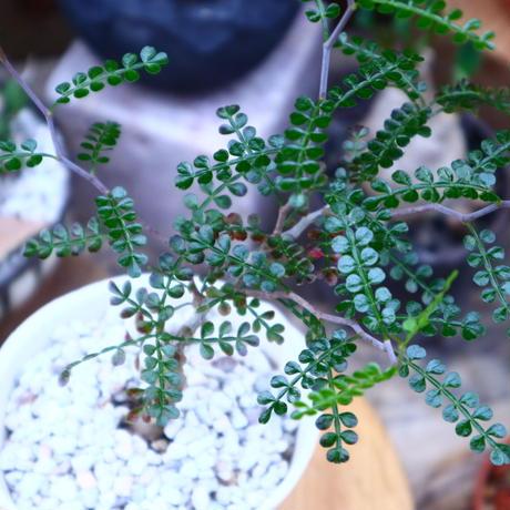 オペルクリカリア パキプス 実生/Operculicarya pachypus  no.71829