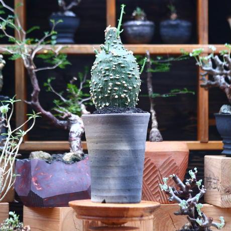 アデニア グロボーサ /Adenia globosa   no.101002