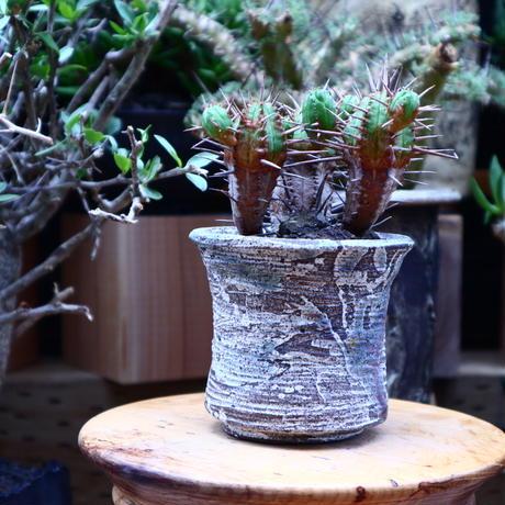 ユーフォルビア フェロックス hyb./Euphorbia ferox hyb.   no.60621