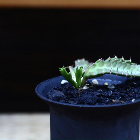 ユーフォルビア  飛竜   スクアローサ   Euphorbia  squarrosa  no.82237