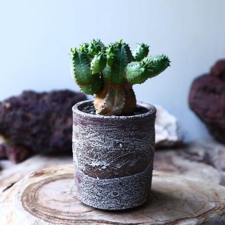 ユーフォルビア  オベサ  hyb  Euphorbia obesa no.010