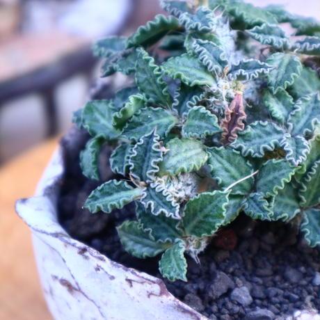 ユーフォルビア  トゥレアレンシス/Euphorbia tulearensis     no.71836