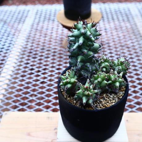 ユーフォルビア  ホリダ モンスト/Euphorbia horrida f. monstruosa   no.50235