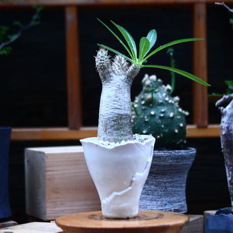 パキポディウム  イノピナツム/Pachypodium Inopinatum   no.100330