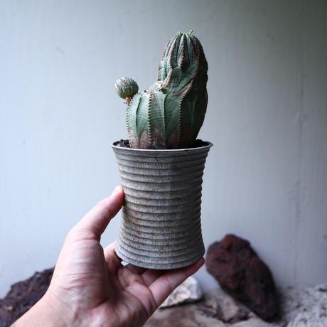 ユーフォルビア  オベサ  Euphorbia obesa no.90116