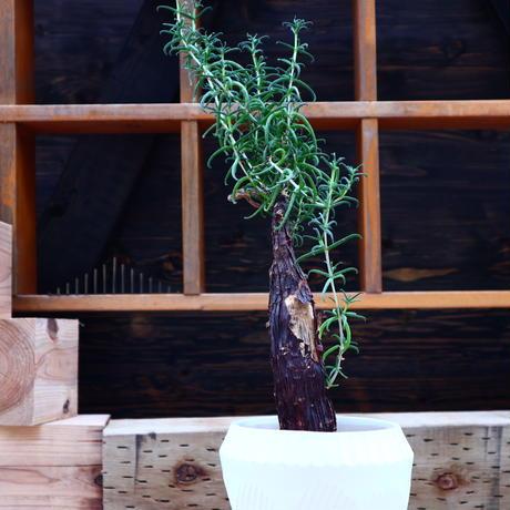メストクレマ ツベローサム     Mestoklema tuberosum     no.60649