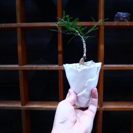 オペルクリカリア パキプス 実生/Operculicarya pachypus  no.71827