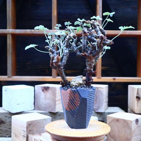 ぺラルゴ二ウム   エキナツム/Pelargonium  lechinatum   no.71810