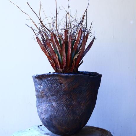 レウクテンベルギア  晃山    Leuchtenbergia principis  no.11229