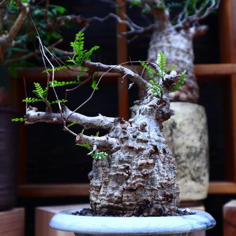オペルクリカリア  パキプス/Operculicarya  pachypus     no.60641