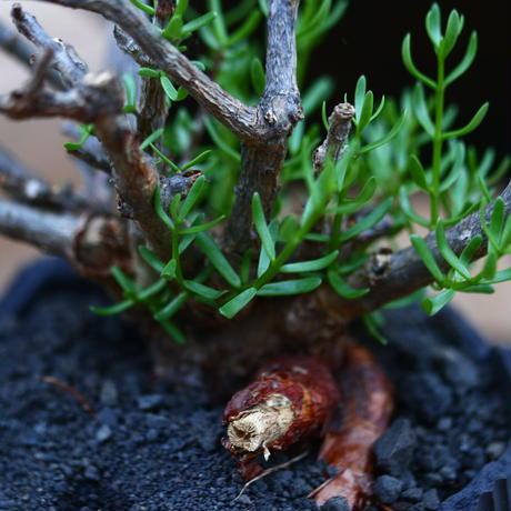 ケラリア フルチコーサ/Ceraria fruticosa  no.92601