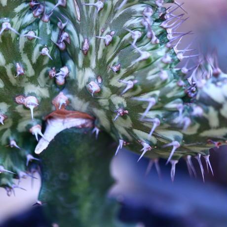 ユーフォルビア  ホルウーディ 綴化 接木   Euphorbia horwoodii  no.32106
