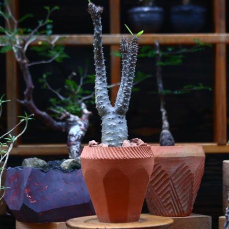 パキポディウム  マカイエンセ/Pachypodium Makayense     no.101047