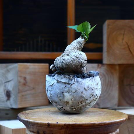 ユーフォルビア ラノヒラ/Euphorbia sp.ranohira   no.80824
