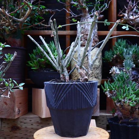 アデニア  サブセシリフォリア/Adenia subsessilifolia   no.60635