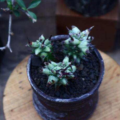 ユーフォルビア  ホリダ モンスト/Euphorbia horrida f. monstruosa   no.60620