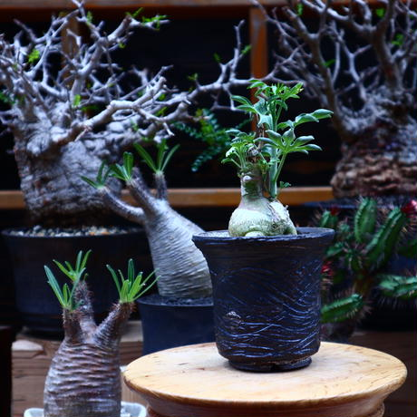 アデニア  グラウカ/Adenia glauca    no.51622