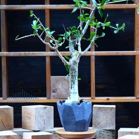 コミフォラ ラミー/Commiphora  lamii  no.82249