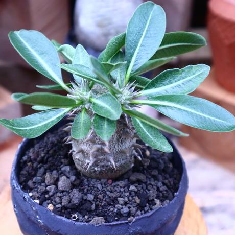 パキポディウム  恵比寿大黒  実生/Pachypodium  Densicaule    no.71820