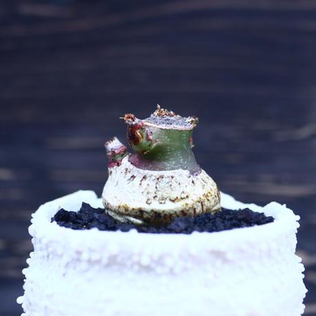 アデニア  グラウカ   Adenia glauca    no.30620
