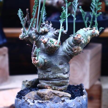 ペラルゴニウム カルノーサム/Pelargonium carnosum  no.53022