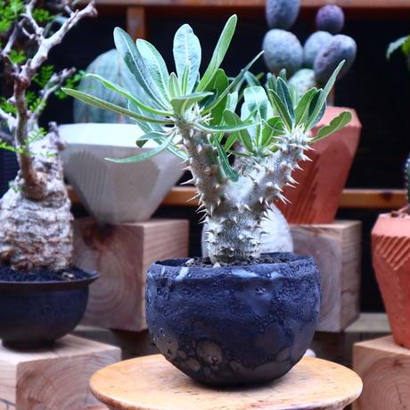 パキポディウム ロスラーツム  実生/Pachypodium rosulatum    no.71819