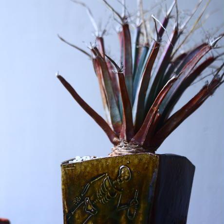 レウクテンベルギア  晃山    Leuchtenbergia principis  no.42691