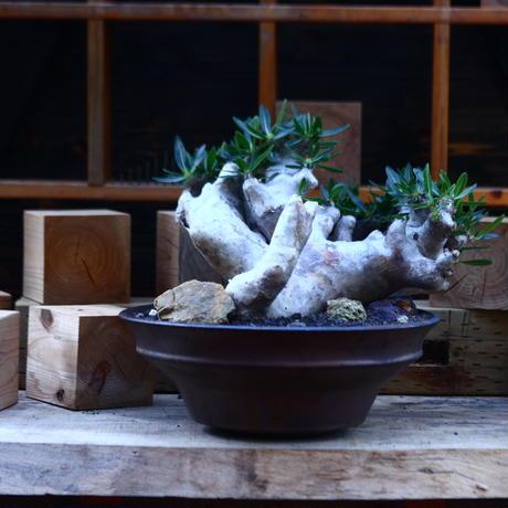 パキポディウム ブレビカリックス/Pachypodium densiflorum var. brevicalyx      no.82936