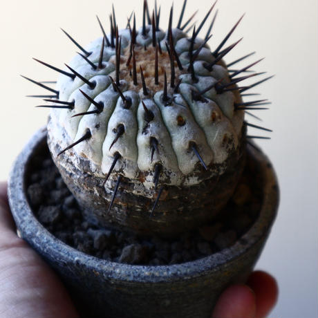 コピアポア 孤竜丸    Copiapoa cinerea var. columna-alba  no.40715