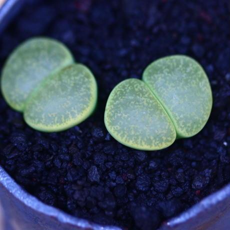 リトープス   アルビニカ    Lithops  albinica     no.30610